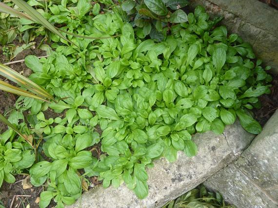 Corn Salad Heirloom Seeds Lambs Mache Lettuce B313   Etsy